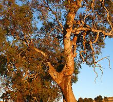 Magestic Redgum at Sunset by Dominique Sparks