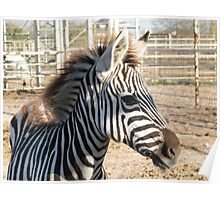 Zebra At The Zoo Poster