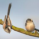 Long-tailed tits by M.S. Photography/Art