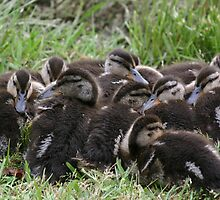 Ducklings at 4-weeks by Pamela Kadlec