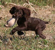 Boykin Puppy's First Dove Hunt by Pamela Kadlec