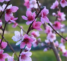 peach blossoms by greendarner
