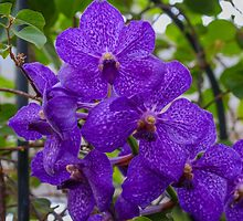 Purple Orchids by David  T Anderson