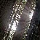 red woods 6 by angelo marasco