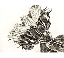 Profile of A Sunflower Photographic Print