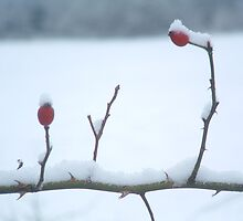 Snow Berries by Giulia Mauri