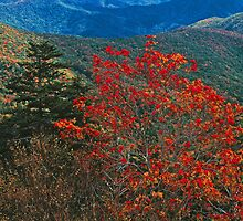 MOUNTAIN ASH, GREAT SMOKY MOUNTAINS NP by Chuck Wickham