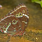 Richard's Morpho Butterfly by Robert Abraham