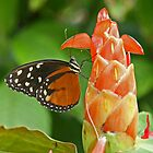 Hecales Butterfly Species by Robert Abraham