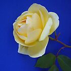 Yellow rose on blue background by Karen Doidge