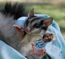 Squirrel Glider captures by Amy Evans