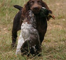 Boykin pup with duck by Pamela Kadlec