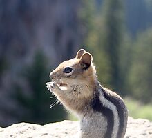 Golden-mantled Ground Squirrel Spermophilus lateralis - 1420 by BartElder