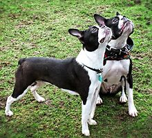 Boston Terriers by Ludwig Wagner