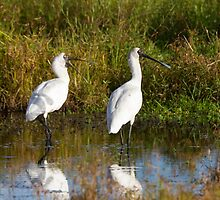 Spoonbill Chat by byronbackyard