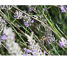 Like bees to lavender Photographic Print