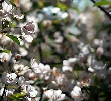 Backlit White Spring Flowers by ca2hill