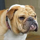 "British Bulldog, Lochdue Katrina, ""Rogue"" by dolnonsporting"