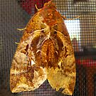 Brown Moth  by 4spotmore
