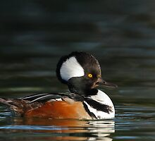 Hooded Merganser by tomryan