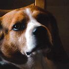 Beagle by steelwagon