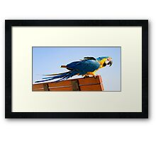 Macaw Extended Framed Print