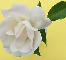 White rose on yellow background by Karen Doidge