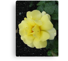 Pale yellow rose with guest Canvas Print