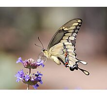 Butterfly Study  Photographic Print