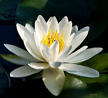 White Water Lily Flower by Christina Rollo