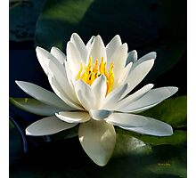 White Water Lily Flower Photographic Print