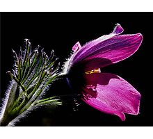 Purple Pasque Flower with dark background Photographic Print