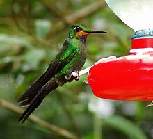 Green-crowned Brilliant Hummer at Feeder by Laurel Talabere