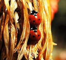 ladybugs by Monica Di Carlo