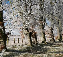 Frosty beeches 2 by duncananderson