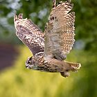 European Eagle Owl in Flight by JamieP