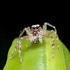 Bronze Aussie Jumping Spider by Andrew Trevor-Jones
