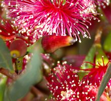 Red flowering gum by Jennifer Craker