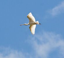 White Spoonbill by inAWE