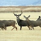 Mule Deer - 2889 by BartElder