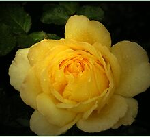 Yellow Rose,Golden Jubilee. by Rosemariesw
