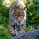 Padded Paws-Jaguar by IanPharesPhoto
