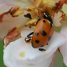 Lady Beetle on Malus Ioensus 'Plena' by Julie Sherlock