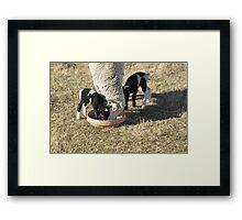 Sheep. Framed Print