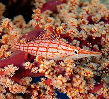 Longnose Hawkfish by Andrew Trevor-Jones