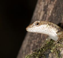Shade skink by Stewart Macdonald