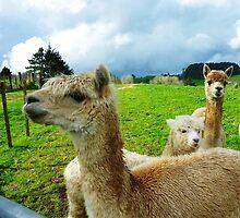 Photo of alpacas by alpacat