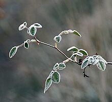 Frozen rose-bush by Fran0723