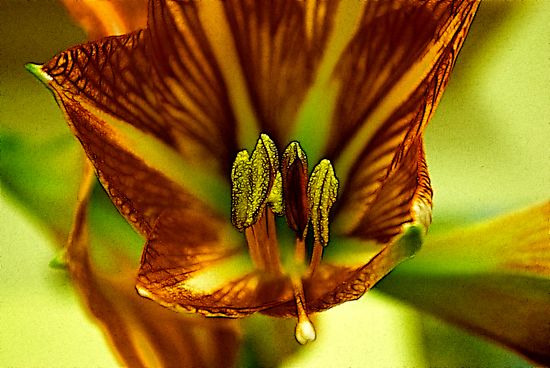 Factalius Stamen by Trevor Kersley