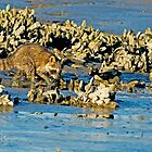 Raccoon In The Oyster Beds by imagetj